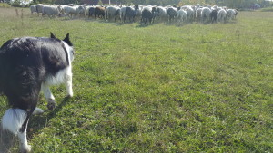working border collie