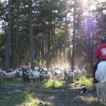 Lamm på skogsbete