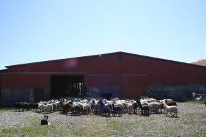 Ammor Sheep Farm